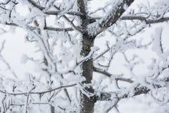 Zima mróz rozgałęzia się śnieg i lód zakrywających tło płatków śniegu biały niebieska zima obraz stock
