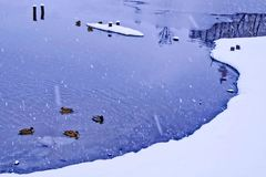 Zima, śnieg Staw jest siedliskiem dla ptaków Zdjęcie Royalty Free