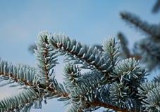 Zima oszroniejąca na świerkowym drzewie Obrazy Stock