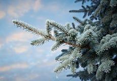 Zima oszroniejąca na świerkowym drzewie Zdjęcia Stock