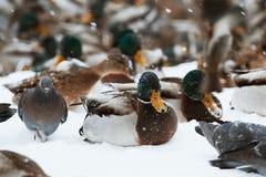 Zima parka kaczki staw fotografia stock