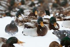 Zima parka kaczki staw zdjęcia stock