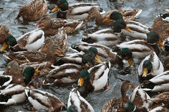 Zima parka kaczki staw obrazy royalty free