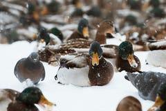 Zima parka kaczki staw zdjęcia royalty free