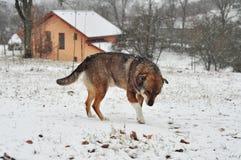 Zima pies Obrazy Stock