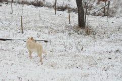 Zima pies Zdjęcie Stock