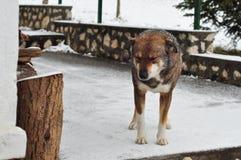 Zima pies Obrazy Royalty Free