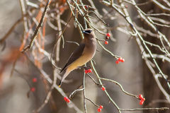 Zima ptak umieszczający na jagodowym drzewie fotografia royalty free