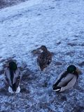 Zima ptaki fotografia stock