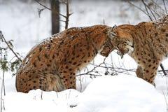 Zima ryś Fotografia Stock