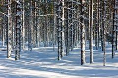 zima sosnowy drewno Fotografia Stock