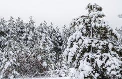 Zima sosnowy las zakrywający z białym śniegiem zdjęcia royalty free