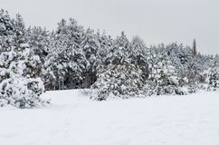 Zima sosnowy las zakrywający z białym śniegiem zdjęcia stock