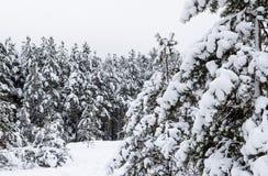 Zima sosnowy las zakrywający z białym śniegiem obrazy royalty free
