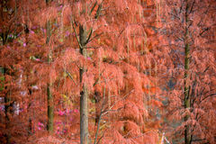 Zima sosnowy liść pokazuje złoto zdjęcia royalty free