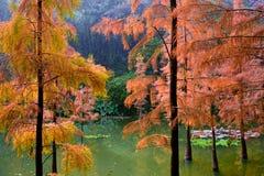 Zima sosnowy liść pokazuje złoto Fotografia Royalty Free