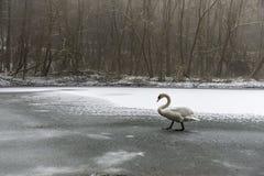 Zima spaceru lodu Gruntowy Śnieżny biały łabędzi Ptasi jezioro 22 Fotografia Stock