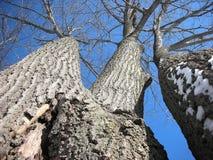 Zima strzelający potrójny dębowy drzewo Fotografia Royalty Free