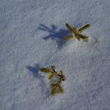 Zima szczegół z sosnowymi rozsadami Fotografia Royalty Free