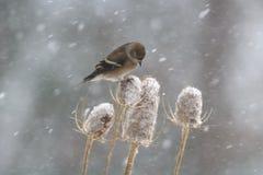 Zima szczygieł na Teasel Zdjęcie Stock