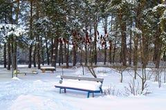 Zima w sosna parku Obraz Stock