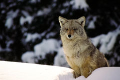 Zima wilk siedzi na śnieżnym dryfie Zdjęcia Royalty Free