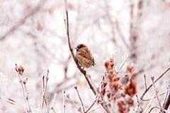 Zima wróbel Zdjęcie Royalty Free