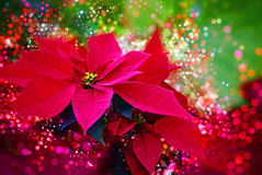 Zima wzrastał, Świąteczny bokeh, obiektywów racy, światła poinsecja Czerwona zima, boże narodzenia -/kwitnie - zdjęcia stock