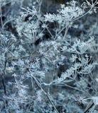 Zima Zamarznięta roślina w śniegu Zdjęcie Stock