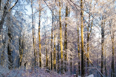 Zima zgłębia las Zdjęcie Royalty Free