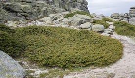 Zimbro comum, subsp communis do juniperus alpina fotografia de stock royalty free
