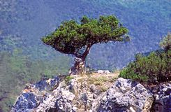 Zimbro da árvore Fotografia de Stock Royalty Free