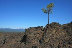 Zimbro solitário em um fluxo de lava fotos de stock royalty free