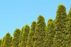 Zimbros no fundo do céu azul Imagem de Stock