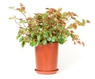 Zimmerpflanze Stockfotografie