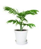 Zimmerpflanze Chamaedorea in einem Blumentopf Stockfotografie
