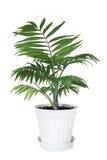 Zimmerpflanze Chamaedorea in einem Blumentopf Lizenzfreies Stockbild