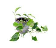Zimmerpflanze in einem Topf Lizenzfreie Stockfotografie