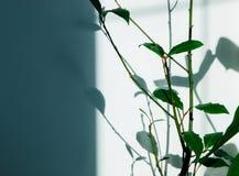 Zimmerpflanze mit Grünblättern und Schatten vom Sun auf der Wand Lizenzfreie Stockfotografie