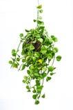 Zimmerpflanzehängen Lizenzfreie Stockfotografie