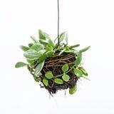 Zimmerpflanzehängen stockbild