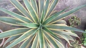 Zimmerpflanzen oder Maispflanze Stockfoto