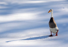 zimna kaczka Obraz Stock