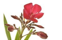 zimnotrwała oleandrowa czerwień Zdjęcie Royalty Free