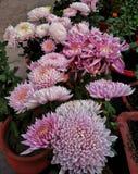 Zimnotrwałe chryzantemy & x28; pink& x29; zdjęcia stock