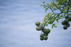 Zimnotrwały Pomarańczowy drzewo nad wodą Obraz Stock