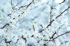 zimny Sakura Obrazy Stock