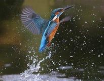 Zimorodek, Alcedo atthis zdjęcie royalty free