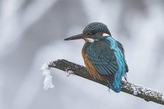 Zimorodek, Alcedo atthis Nurkowy ptak zdjęcia royalty free