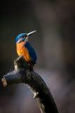 Zimorodek cieszy się światło słoneczne i łapanie ryba Zdjęcie Royalty Free